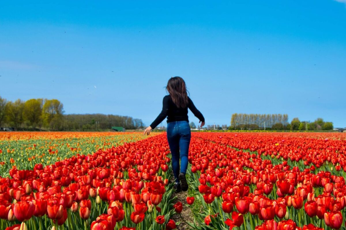 How Late Can You Visit The Tulips In The Netherlands