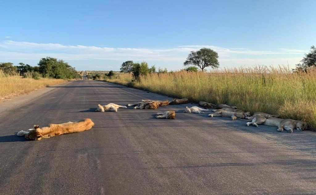 Lions Lounging in Road South Africa