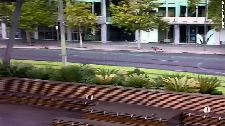 Kangaroo Hopping through Adelaide