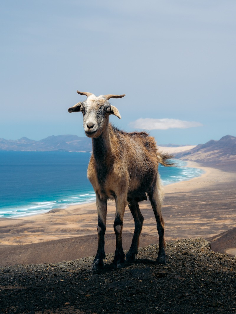 Canary Islands - Goat
